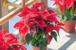 پرورش بنت قنسول   گلی با برگ های قرمز و سبز