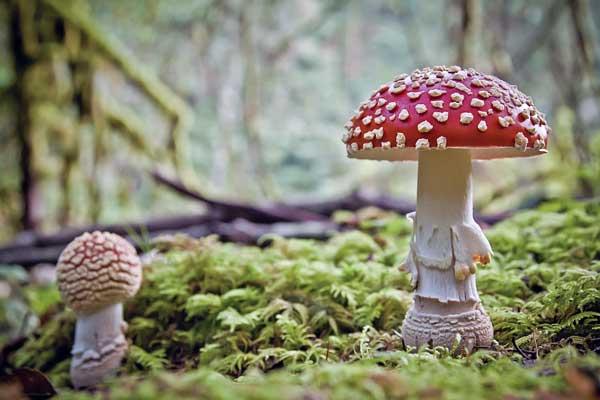 کدام قارچ سمی است